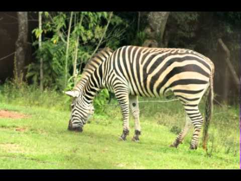 Zebra Facts - Facts About Zebras - YouTube