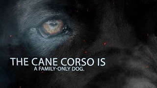 The Cane Corso is a family-only dog. He is a fiercely intelligent a...