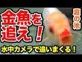 【庭の池】金魚を水中カメラで追いまくる!#155 2018.10.18