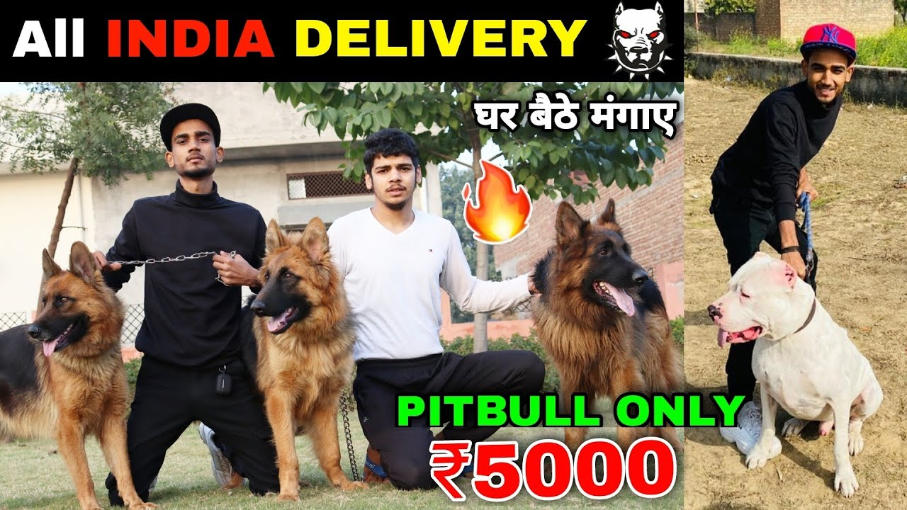 Cheapest Dog Market in India | Dog in Cheap Price | Pitbull | American bully | Tibetan mastiff