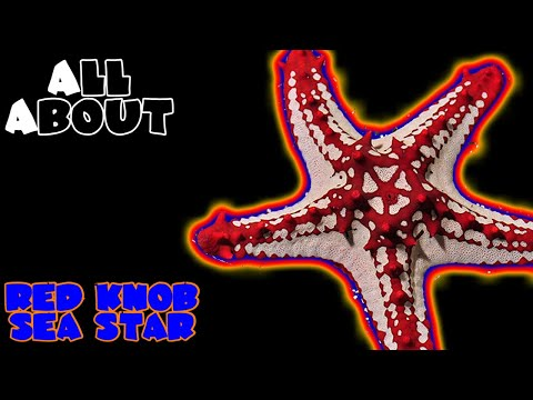 All About The Red Knob Sea Star Or Red General Starfish Or African Sea Star Or Red Spine Star