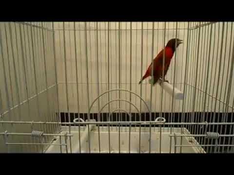 Gaya Red Siskin Merayu Betina Super Gacor Youtube
