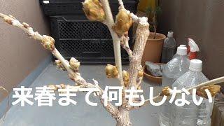 藤の花芽が付かない人用剪定方法
