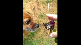 Hummingbird Rescue and A Little Dog's Love -Gotta See this!