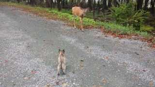 Cairn Terrier Puppy Meets a Deer