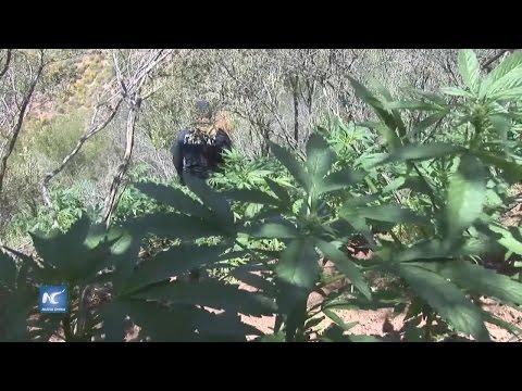 Aseguran 9 plantíos de amapola y marihuana en Ensenada