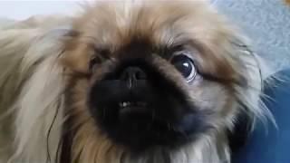Гладкошерстные собаки, почему я их не люблю.