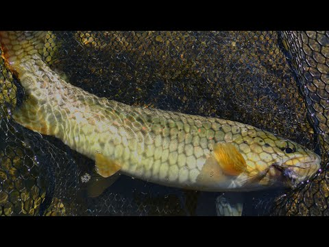 Fly Fishing For Big Brown Trout-Kupa River 2019