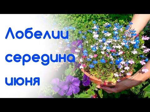 Как вырастить лобелию ЧАСТЬ 1. Сайт Садовый мир