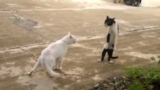 Funny cat fights - she stands on two legs - Amazing video!
