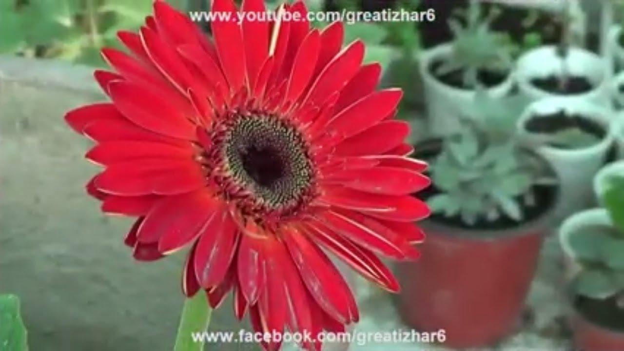 Gerbera Plant Care Perennial Gerbera Daisy Gerbera Flower
