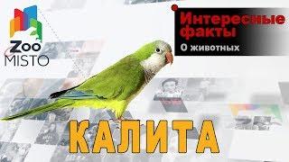 Калита - Интересные факты о виде  | Вид попугая калита