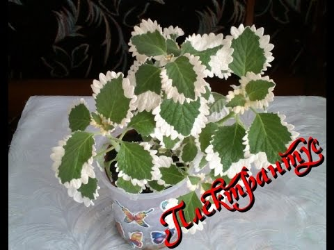 Плектрантус (Plectranthus) . Уход и содержание в домашних условиях