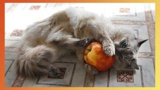 Прикольное видео про кота и большое яблоко.