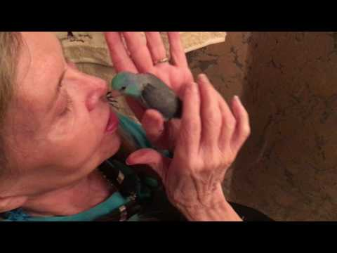 Fly Babies Aviary - Free Nationwide Delivery - Alena Parrotlet Blue