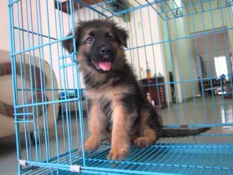 Bán chó becgie đức giá rẻ liên hệ 0986006465