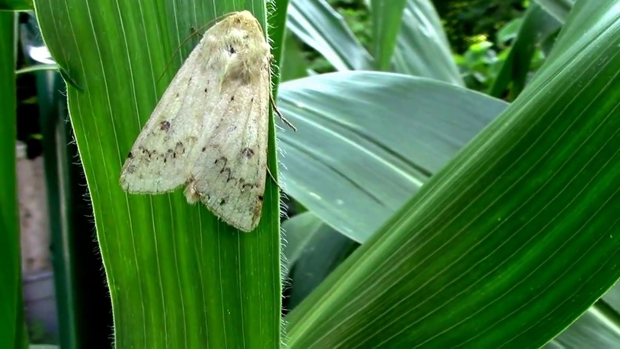 What Corn Earworm Moths Look Like. - YouTube