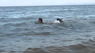 淡路島の海で泳ぐブルマスティフのカグラ☆ 決して溺れているのではあり...