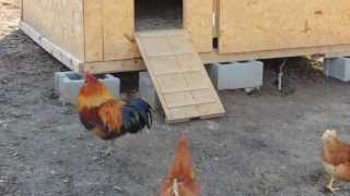 Rooster and his hens in the morning