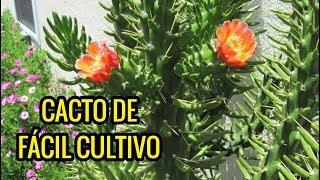 CACTO Opuntia subulata