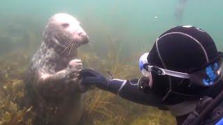 Смущённый дайвер не понимает, что хочет от него тюлень. Но затем животное берёт его за руку