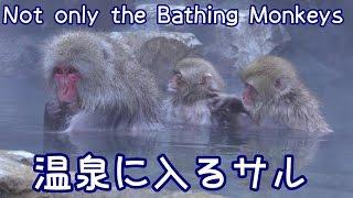 温泉に入る猿たち♪地獄谷野猿公苑 動物の動画多数アップ下記URLより...