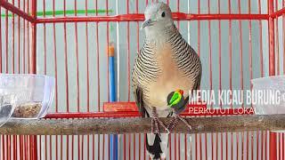 Download Suara Burung Perkutut Mp3 Bangkok Dan Lokal Terlengkap