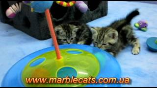 Британские котята окраса вискас (Litter c 1 5 months)