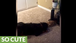 Bernese Mountain Dog plays with pet bunny rabbit