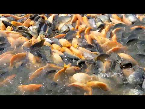 amaging !!! gold fish from Aceh. ( in pool 1 hectare )