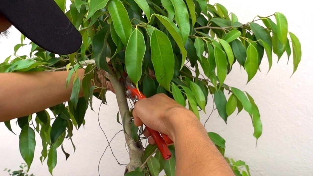 Hướng dẫn bạn mới chơi 3 cách tạo độ côn cho cây, sửa cây bỏ đi thành cây đẹp – repair bonsai trees