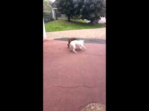 """Dog Boxer Dog Argentin """"Jade et Enddy"""""""