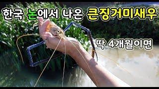 [오브리더] 한국 논에서 동남아 초대형 징거미새우를 직접 잡아먹어 보았습니다
