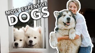 10 Most Expensive Dogs