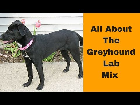 all-about-the-greyhound-lab-mix-(greyador):-ultimate-guide