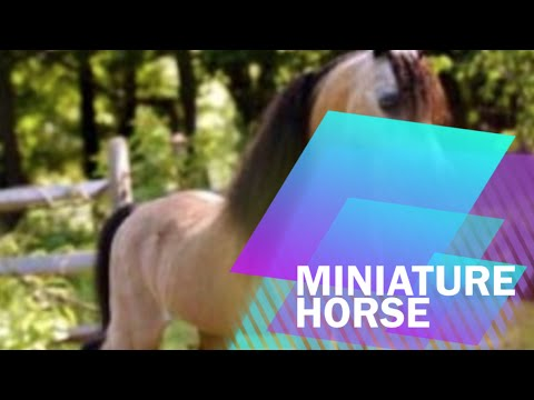 Fun Facts About The Miniature Horse