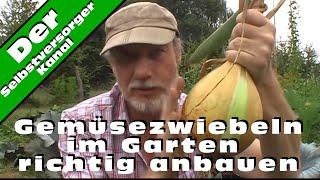 Gemüsezwiebeln im Garten richtig anbauen