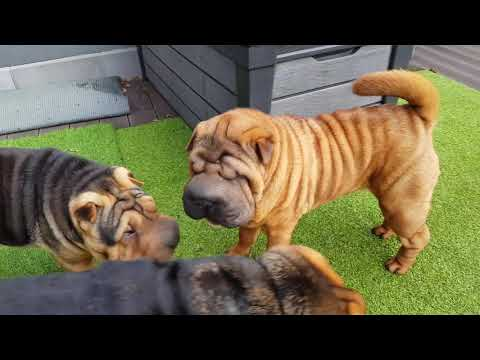 Just An Ordinary Look Into Our Shar Pei Family
