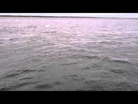 Belugas in Churchill River