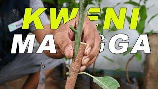 Cara Sambung Pucuk Mangga Kweni