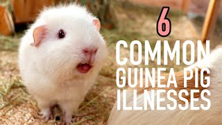 6 Common Guinea Pig Illnesses + How to Avoid them