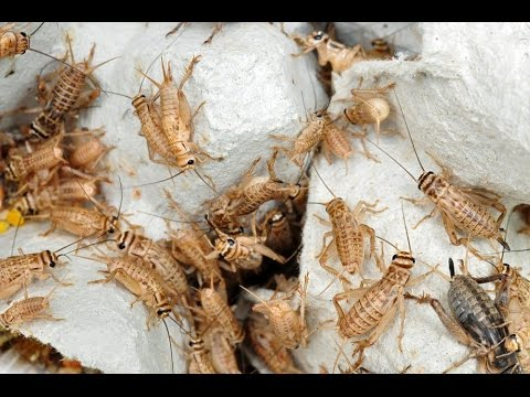 How to get rid of crickets?<a href='/yt-w/Wa_qcfOwd9A/how-to-get-rid-of-crickets.html' target='_blank' title='Play' onclick='reloadPage();'>   <span class='button' style='color: #fff'> Watch Video</a></span>