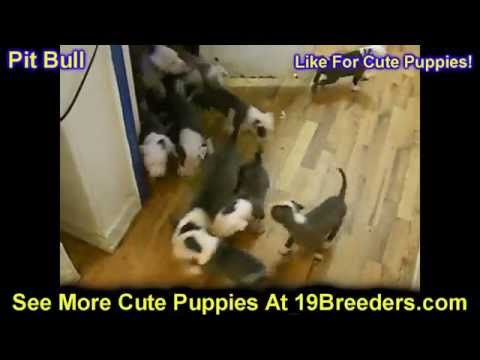 Pitbull, Puppies, Dogs, For Sale, In Chicago, Illinois, IL, 19Breeders, Rockford, Naperville, Peoria