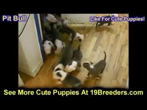 Pitbull, Puppies, Dogs, For Sale, In Chicago, Illinois, IL, 19Breeders, Rockford, Naperville, Peoria