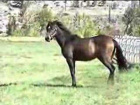 Arabian horses for sale - YouTube