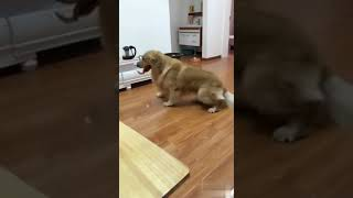 Amazing, the pet dog can become a dog on the phone?