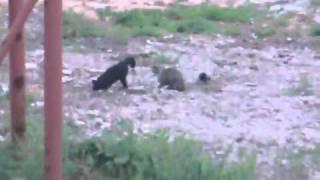 Кот и Ворона деруться с другим Котом.mp4