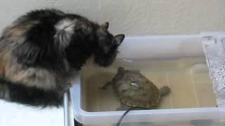 Bruņurupucis iekož kaķim - Черепаха кусает собаку - Turtle bites dog