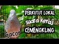 Perkutut Lokal Suara Keras Cemekling Cocok Untuk Pancingan Dan Pikat Perkutut  Mp3 - Mp4 Download