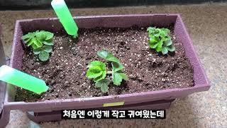 상추, 설향, 분홍(사계)딸기 성장 과정(7일간)실내화…